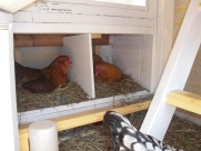 Active morning in the nesting boxes.