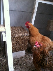 Mabel and Goldie start on the new flock block.